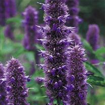 Agastache Seeds - Liquorice Blue
