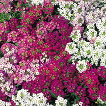 Alyssum Seeds - Wandering Star
