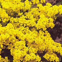 Alyssum saxatile Seeds - Golden Queen