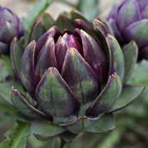Artichoke Seeds - Purple de Provence