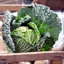 Cabbage (Savoy) Seeds - Preludium F1