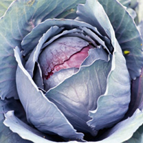 Cabbage Seeds - Roderick F1