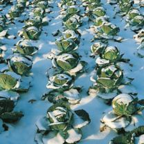 Cabbage Seeds -Tundra F1