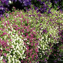 Calibrachoa Seeds - Kabloom