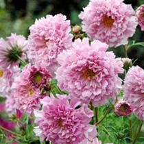 Cosmos Seeds - Rose Bonbon