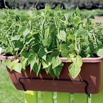Dwarf French Bean Duo Pot Plant