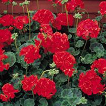 Geranium Seeds - Vista Series Red F2
