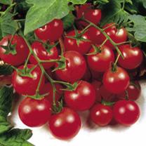 Grafted Tomato Plants - Gardener's Delight