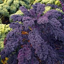 Kale Seeds - Redbor F1