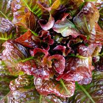 Lettuce Plants - OutREDgeous