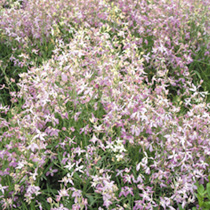 Night Scented Stock Seeds - Daybright Mixed
