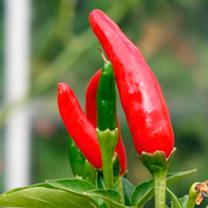 Pepper Plant - Tabasco