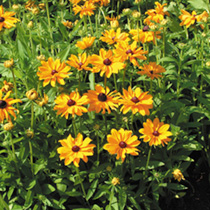 Rudbeckia Seeds - Marmalade