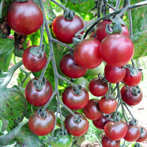 Tomato Grafted Plant - Rosella