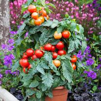 Tomato Plant - Summerlast