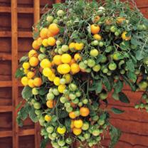 Tomato Seeds - Tumbling Tom Yellow