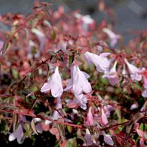 Abelia Plant - Pinky Bells