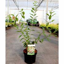 Abelia mosanensis Plant - Monia