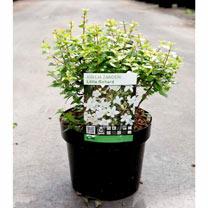 Abelia zanderi Plant - 'Little Richard'