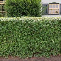 Acer Campestre (Field Maple) Plants - 2L Value Hedging Range