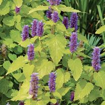 Agastache Plant - Golden Jubilee