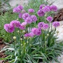Armeria Plant - Ballerina Purple Rose