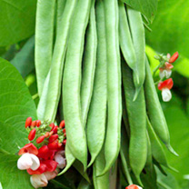 Bean (Runner) Seeds - Tenderstar