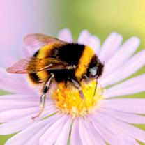 Beepol Bumblebee Live Colony