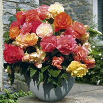 Begonia Plants - Upright Parisienne