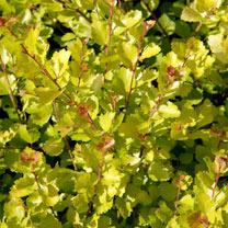 Betula nana Golden Treasure Plant