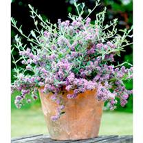 Buddleia alternifolia Plant - Unique