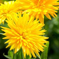 Calendula Seeds - Porcupine Yellow