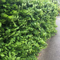 Carpinus betulus (Hornbeam) Plants - 2L Value Hedging Range