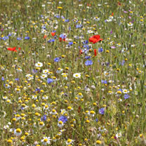Cornfield Annuals Mix Seeds