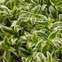 Diervilla sessilifolia Plant - Cool Splash