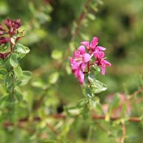 Escallonia Plant - Dart's Rosyred