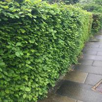Fagus Sylvatica (Green Beech) Plants - 2L Value Hedging Range