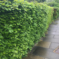Fagus Sylvatica (Green Beech) Plants - 2L Value Hedging Range