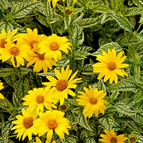 Heliopsis Plants - Sunburst