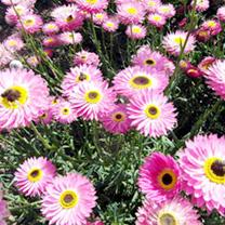 Helipterum Seeds - Brilliant Rose