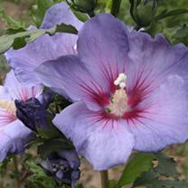 Hibiscus syriacus Plant - Azurri