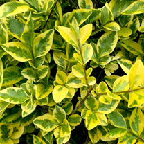 Ligustrum Aureum (Golden Privet) Plants - 2L Value Hedging Range