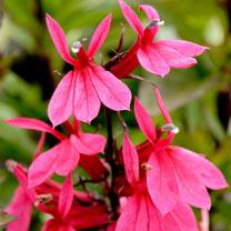 Lobelia Plant - Starship Deep Rose