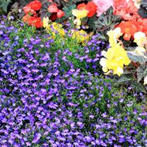 Lobelia Plants - Crystal Palace - 20