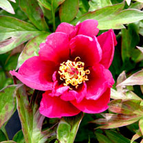 Paeonia Plant - ITOH Pink Ardour