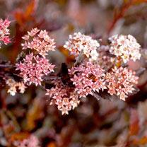 Physocarpus opulifolius Plant - Little Devil