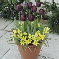 Plant-O-Tray Patio Preplanted Bulbs - Tulips