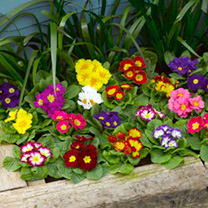 Primrose Plants - F1 Select Mix