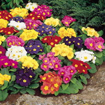 Primrose Seeds - Springtide Mix
