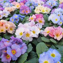 Primula Plants - Provence Mix